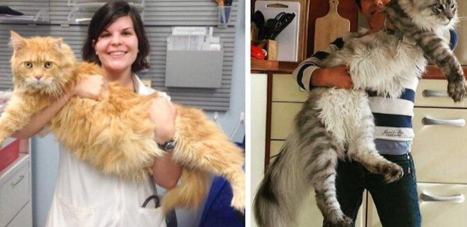Gigantyczne koty, które wkrótce staną się większe niż ich właściciele