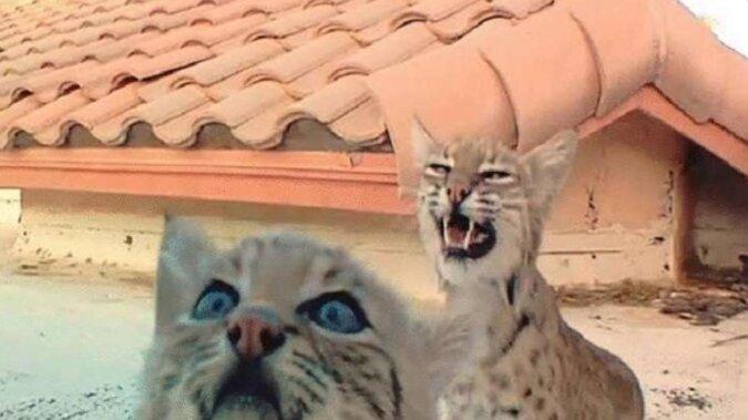 Dorosła ryś co roku przyprowadzała kocięta w to samo miejsce - na dach prywatnego domu.  A mężczyzna postanowił ich poobserwować