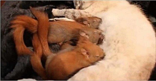 Podczas spaceru kotka znalazła porzucone wiewiórki i stała się dla nich troskliwą matką