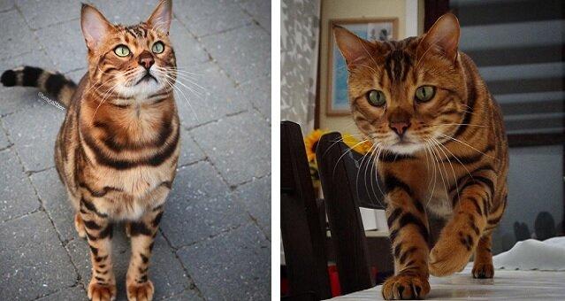 Najpiękniejszy kot bengalski na świecie. Poznajcie thora. Zdjęcia
