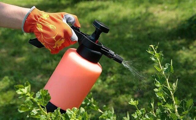 """""""Mszyce i mrówki znikną już po 1 zabiegu"""". Oto metoda pozbycia się szkodników z róż i drzew"""
