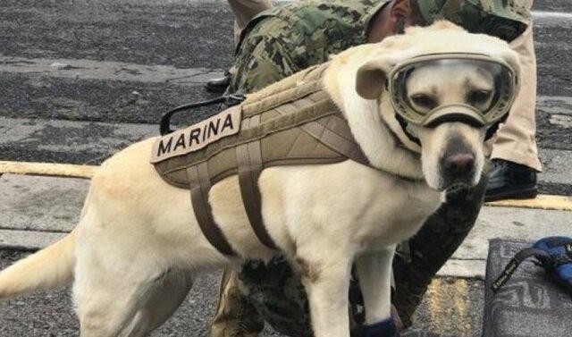 Najfajniejszy pies ratownik Meksyku uratował już pięćdziesiąt osób w ciągu krótkiego początku swojej kariery