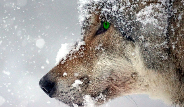 Wycie wilka nie pozwalało zasnąć. Herman wziął kawałki mrożonego mięsa i poszedł karmić wilki