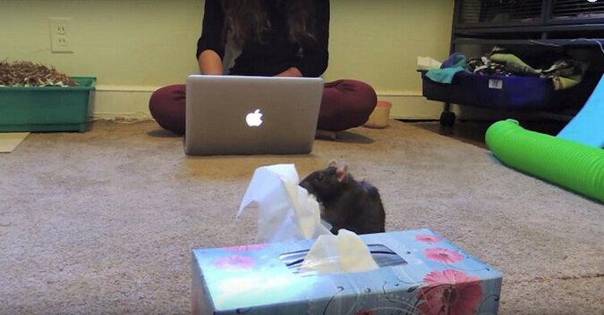 Szczur spieszy się, by przynieść właścicielce chusteczkę, gdy słyszy jak kicha