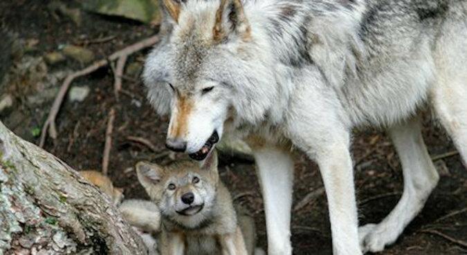 Chłopiec wychowany przez wilki. Prawdziwa historia Mowgli