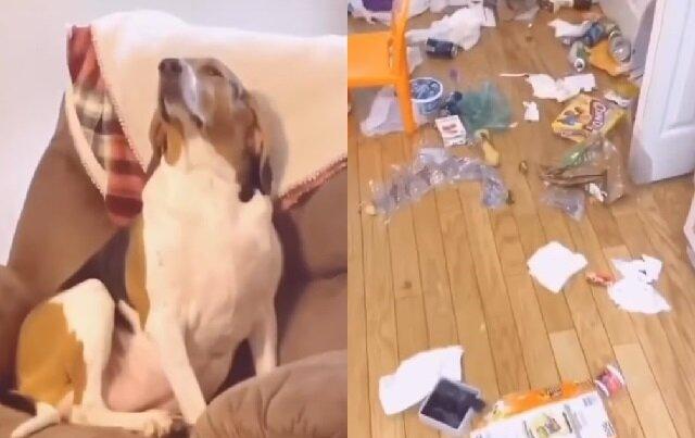 """""""Co ty narobiłaś?"""". Zobacz reakcje psa na bałagan"""