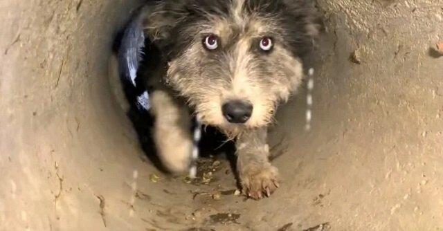 Pies błaga ratowników, aby uratowali jej szczeniaków z rury drenażowej