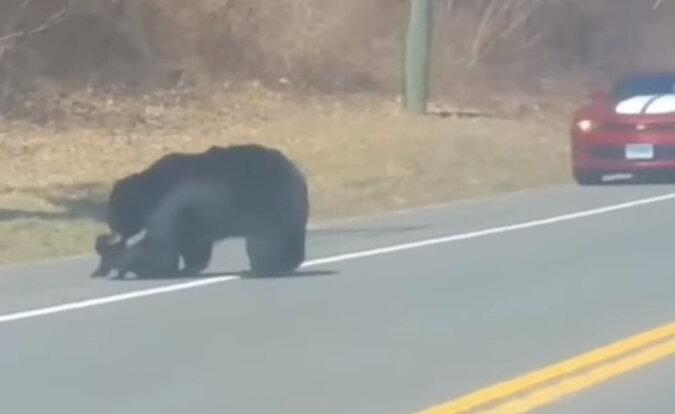 Duża niedźwiedzica na drodze stała się bohaterką Internetu. Wideo
