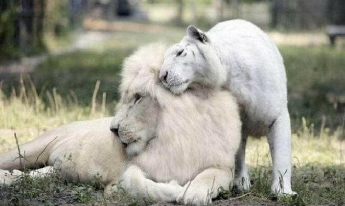 Białe lew i tygrysica mają niesamowite młode. Co za przystojniacy