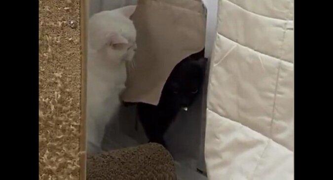 Spóźniony kot próbował cicho wejść do domu, ale natknął się na oczekującą kotkęю Wideo