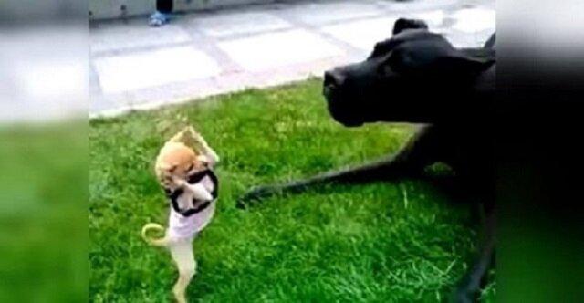 """Mały chihuahua """"zaatakował"""" ogromnego psa. Chodzi o to, że bitwa była nierówna"""