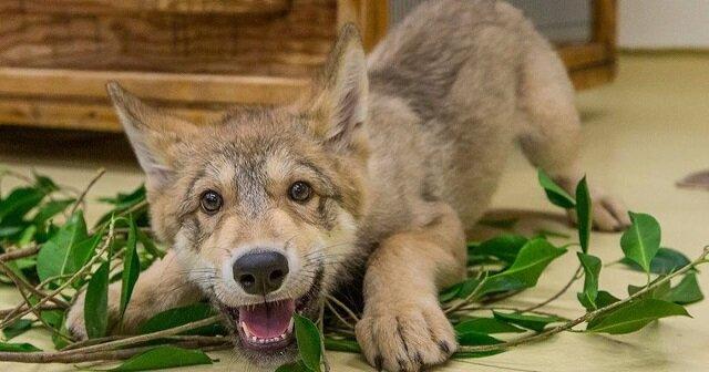 Najmilszy wilk na świecie. Zobacz