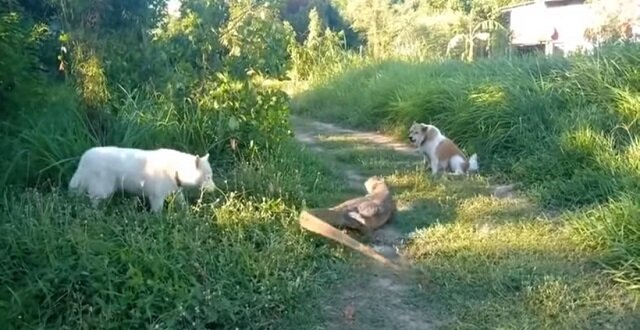 Ogromna jaszczurka odpędziła szczekającego psa, uderzając go ogonem