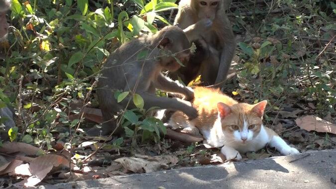 Wideo: Małpy otoczyły kota, aby zobaczyć i zrozumieć, co to za zwierzę