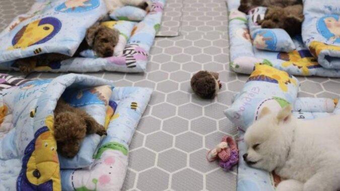 Przedszkola dla psów zyskują w Korei coraz większą popularność