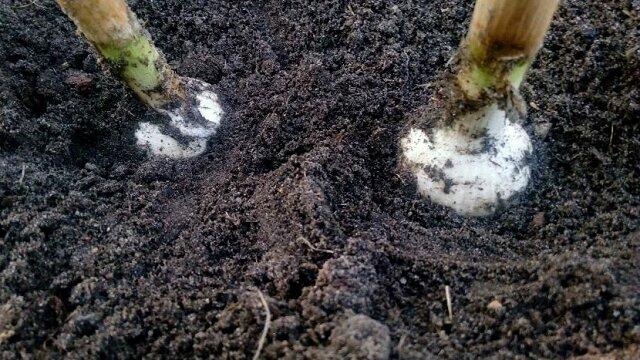 Uwalniamy cebulę i czosnek od ziemi — da to impuls do wzrostu cebulek