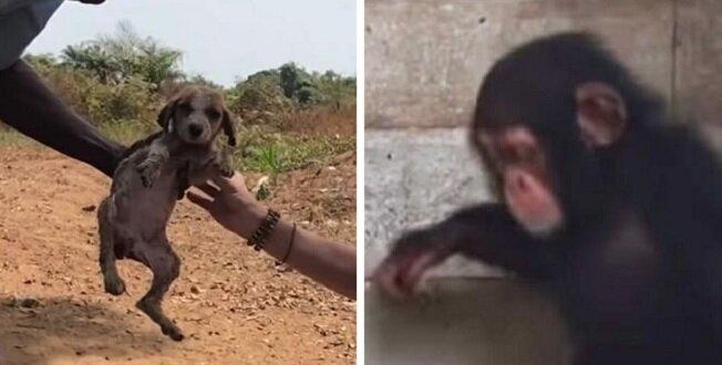 Dzięki pomocy kochających szympansów umierający szczeniak przywrócony do życia