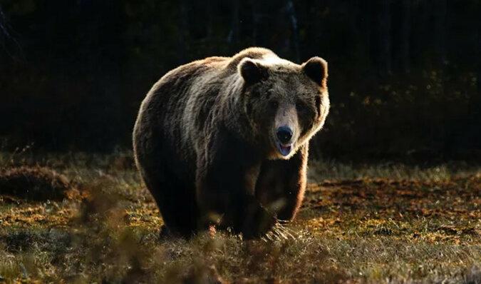 """""""Nie przeszkadzaj cioci"""": niedźwiedzica zbeształa młode, które zalazło do domu ludzi"""