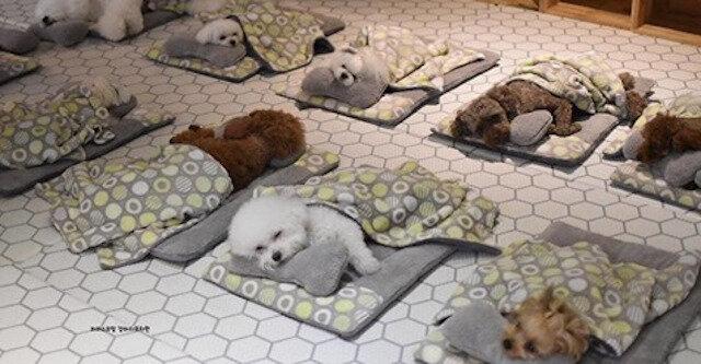 Zdjęcia śpiących szczeniąt ze specjalnego przedszkola dla psów podbiły Internet