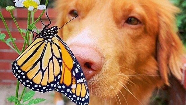 Ten pies zaprzyjaźnił się z motylami. Pozwala im nawet usiąść na nosie
