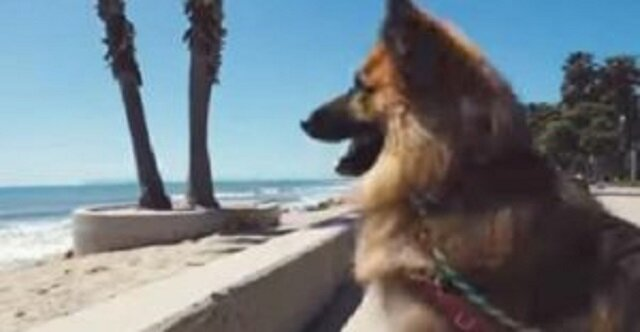 Owczarek niemiecki, który spędził 5 lat przykuty do łańcucha, teraz po raz pierwszy zobaczył ocean. Jego reakcja jest wspaniała