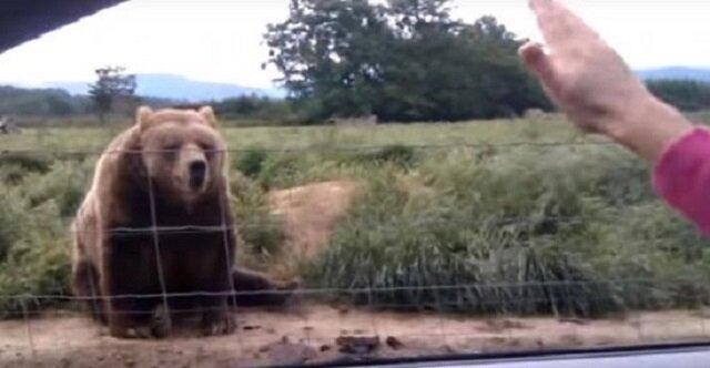 Kobieta pomachała z samochodu do niedźwiedzia, zobacz jego nieoczekiwaną reakcję sekundę później