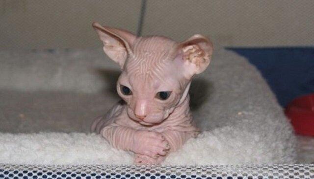 Babcia całym sercem nienawidziła kotka Sfinksa. Dopóki przypadek nie zmienił wszystkiego