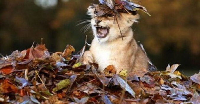 Po prostu mała lwica bawi się w liściach