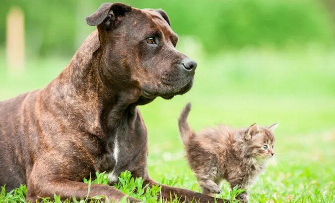 Miły pitbull przyprowadził do domu ciężarną kotkę i pomógł jej przy porodzie