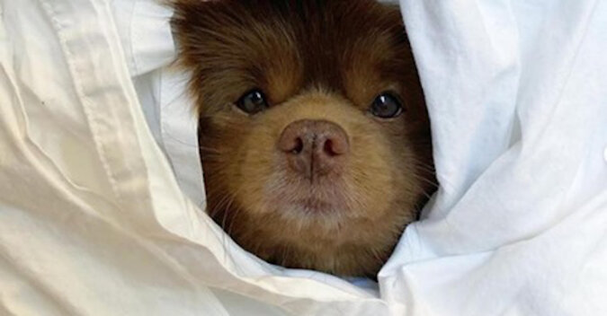 Szczeniak, który wygląda jak niedźwiadek, został porzucony w schronisku, ale los mu sprzyjał