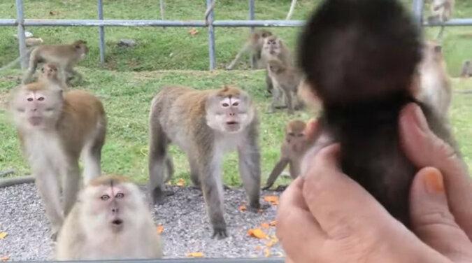 Adoptowane dziecko małpy zostało pokazane dzikim krewnym - ich reakcja rozbawiła wszystkich. Wideo