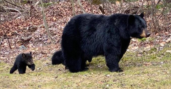 Dzikie niedźwiedzie jeżdżą na huśtawce. Wideo