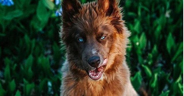 Kuoi to najpiękniejszy szczeniak husky na świecie