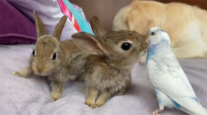 """Małe, zabawne króliki postanowiły """"skosztować"""" niewzruszoną papugę"""