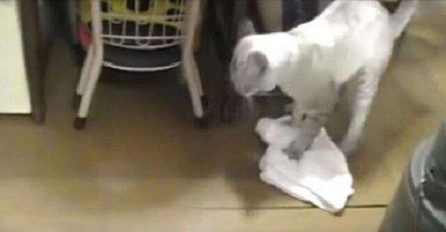 Ten filmik podbił Internet: kot myje podłogę i drwi z niechlujnego właściciela