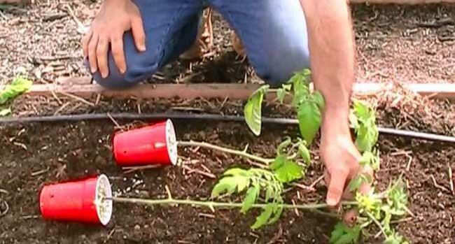 W końcu zdradził 4 genialne sztuczki, które stosuje, by mieć pyszne pomidory… w dużych ilościach