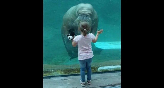 Mors pocałował małą dziewczynkę przez szkło w zoo i podbił sieć