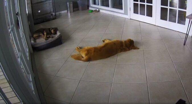 Troskliwy pies uspokoił innego psa, który miał zły sen. Słodkie wideo