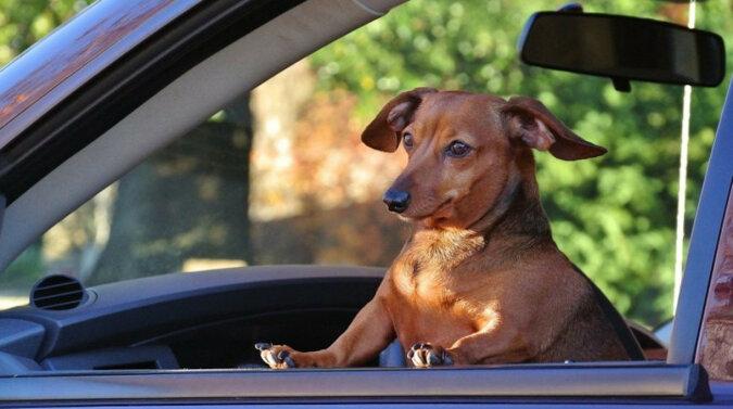 Wszystkich ugryzę: pies znalazł sobie zabawne zajęcie podczas długiej podróży. Wideo