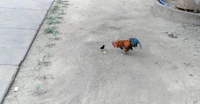 Odważny mały kurczaczek goni koguta. Zabawny filmik