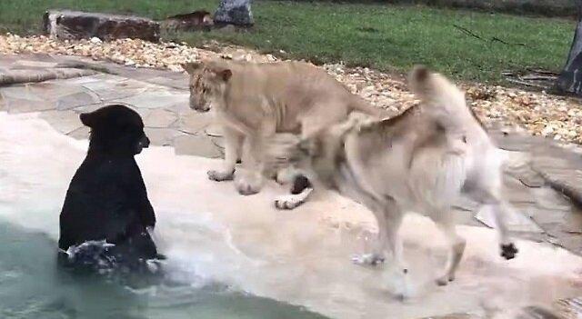 Miś, lwiątko i wilk śmiesznie się bawią przy basenie