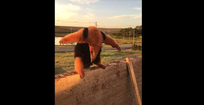 Mrówkojad chce wyglądać na dużego i przerażającego zwierzaka: wideo