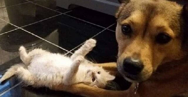Pies nie mógł przejść obok kociąt, które zostały porzucone przez nieodpowiedzialnych właścicieli. Teraz próbuje nowej roli - zastępczego taty