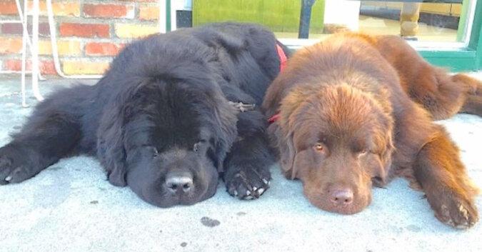 Zaadoptowali parę zwykłych psów. Ale nie powiedzieli im, że będą tak duże