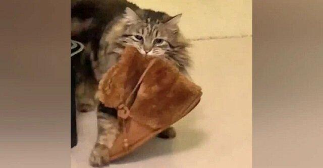 Urocza kotka dziękuje za adopcje, codziennie rano przynosząc swojej właścicielce kapcie