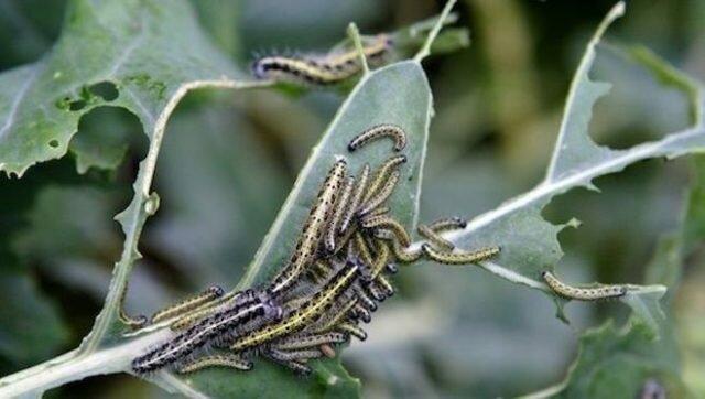 Najbardziej niezwykły sposób ochrony kapusty przed gąsienicami