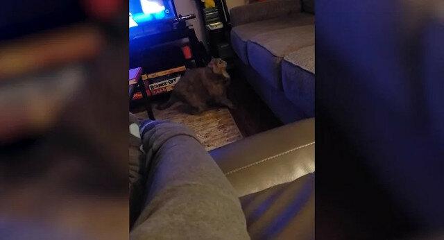 Bardzo gruby kot ma pewne problemy z sofą - zabawne wideo