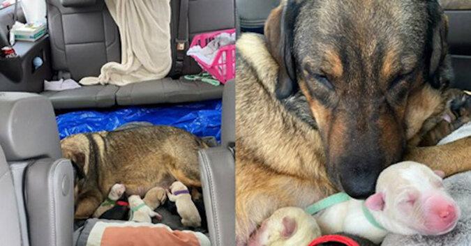 Rodzina z Teksasu spędziła 12 godzin w samochodzie, aby sunia urodziła w ciepłym miejscu