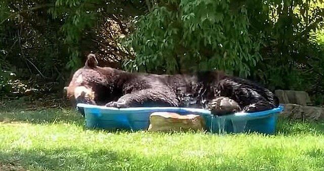 Wideo: niedźwiedź wszedł do basenu dla dzieci