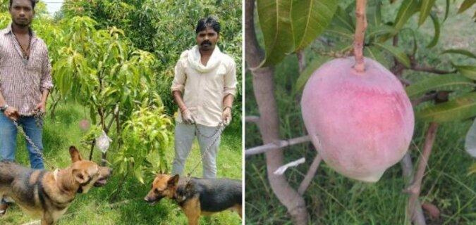 Dziewięć psów i trzech strażników pilnuje najdroższego mango na świecie